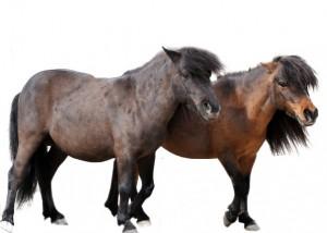 zwei shetland ponys vor weißem hintergrund