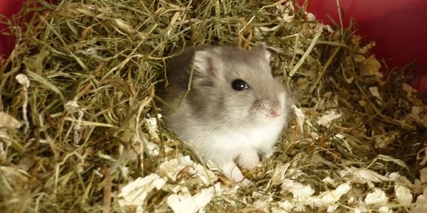 Hamster im Heuhaufen