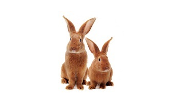 braune kaninchen