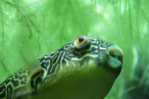 Kugelfisch im aquarium mit algen